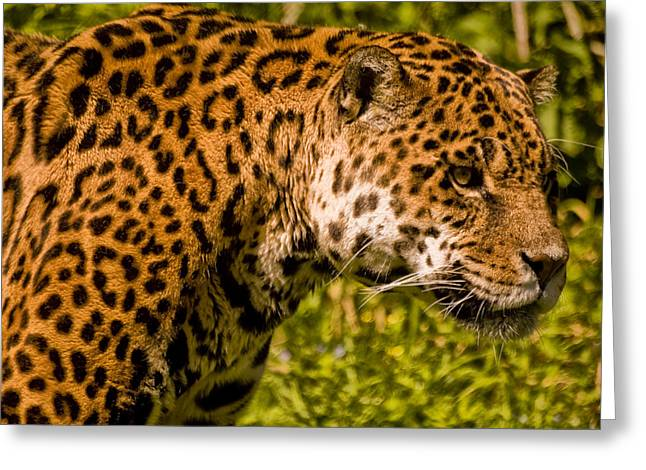 Jaguar Art Greeting Cards - Jaguar - Panthera onca Greeting Card by Jay Lethbridge