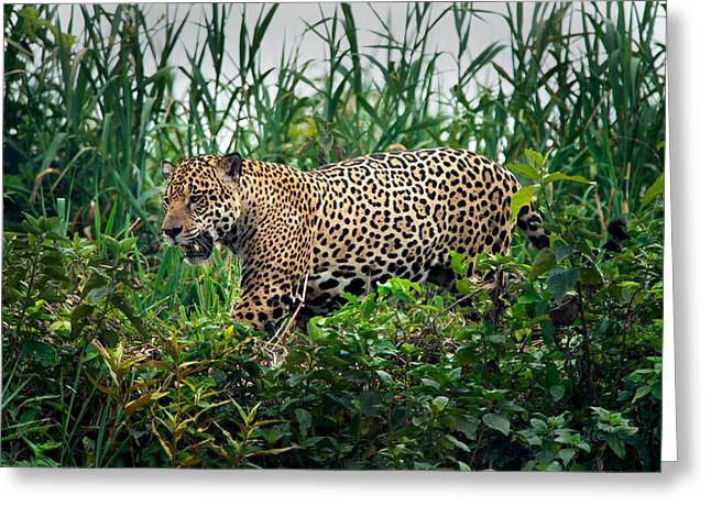 Threatened Species Greeting Cards - Jaguar Panthera Onca, Pantanal Greeting Card by Panoramic Images