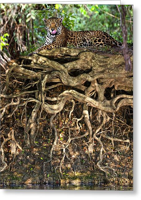 One Animal Greeting Cards - Jaguar Panthera Onca Resting Greeting Card by Panoramic Images