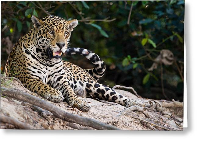 Zoology Greeting Cards - Jaguar Panthera Onca Snarling, Three Greeting Card by Panoramic Images