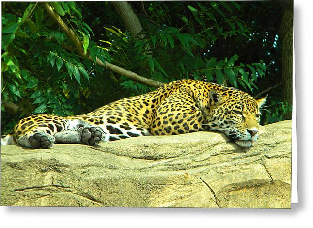 Jaguars Greeting Cards - Jaguar Greeting Card by Phillip W Strunk
