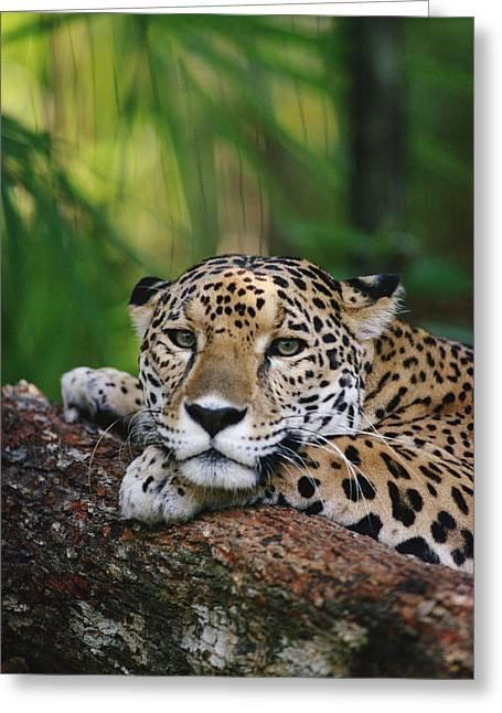 Gerry Greeting Cards - Jaguar Portrait Belize Greeting Card by Gerry Ellis
