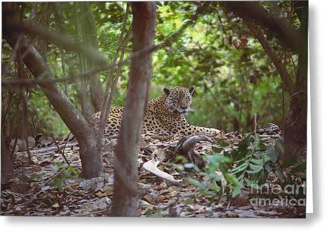 Sit-ins Greeting Cards - Jaguar Sitting Greeting Card by Art Wolfe