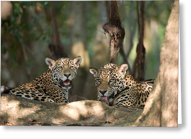 Feline Photography Greeting Cards - Jaguars Panthera Onca Resting Greeting Card by Panoramic Images