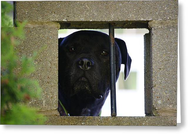 Doggy Cards Greeting Cards - Jailed Greeting Card by Crystal Harman