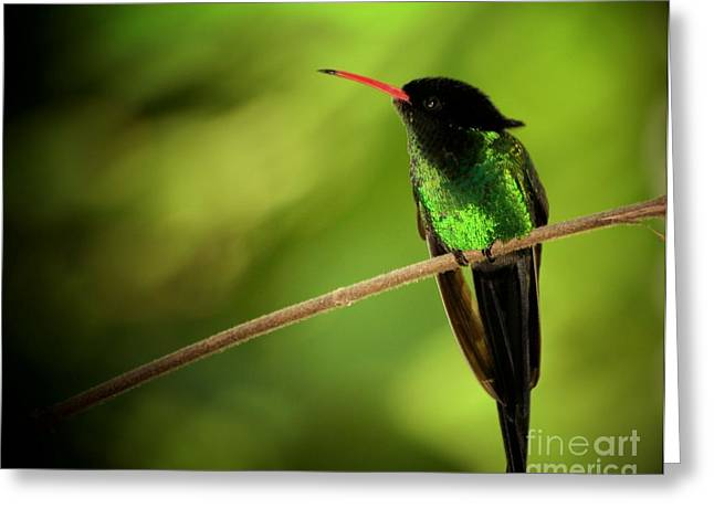 Small Birds Greeting Cards - Jamaican Hummingbird 2 Greeting Card by Marjorie Imbeau