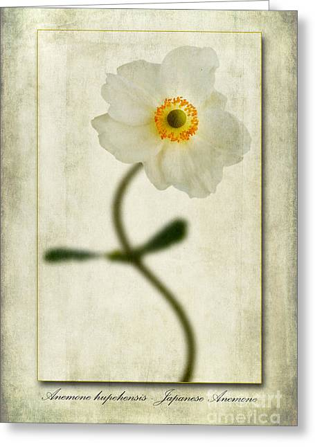 Anemone Greeting Cards - Japanese Anemone Greeting Card by John Edwards