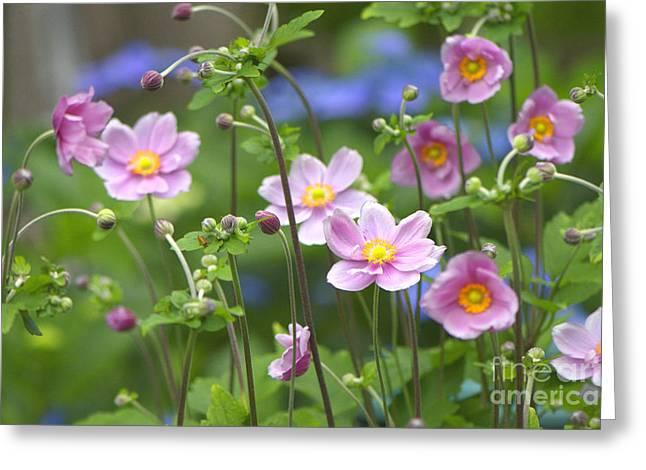 Thimbleweed Greeting Cards - Japanese Anemones Greeting Card by Sharon  Talson