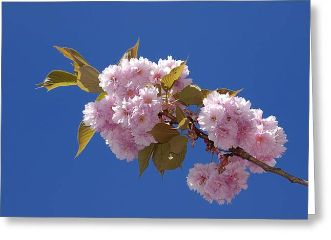 Abloom Greeting Cards - Japanese Cherry flowering Greeting Card by Matthias Hauser