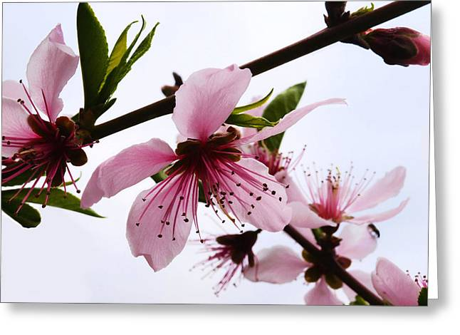 Japanese Cherry Tree Greeting Card by Camille Lopez