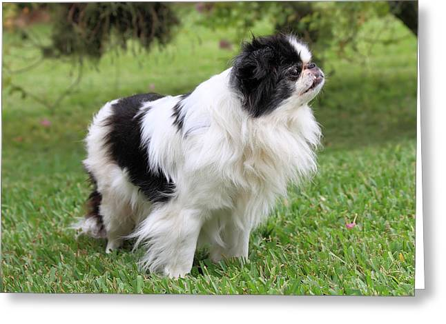 Japanese Puppy Greeting Cards - Japanese Chin - 2 Greeting Card by Rudy Umans