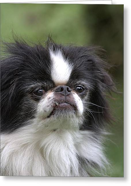 Puppies Photographs Greeting Cards - Japanese Chin - 3 Greeting Card by Rudy Umans