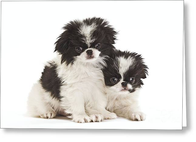 Japanese Puppy Greeting Cards - Japanese Chin Puppies Greeting Card by Jean-Michel Labat