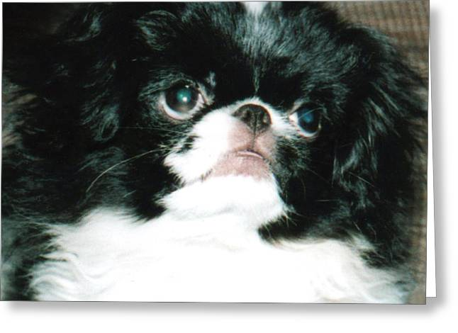 Japanese Chin Puppy Portrait Greeting Card by Jim Fitzpatrick