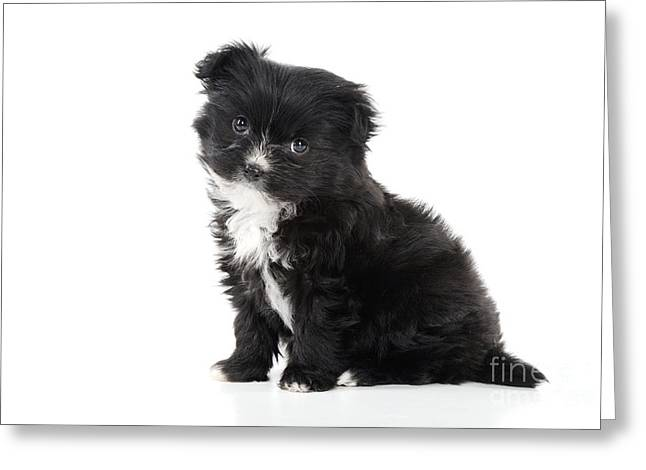 Japanese Puppy Greeting Cards - Japanese Chin X Papillon Greeting Card by John Daniels