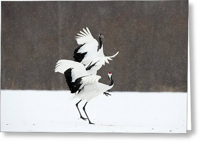 Japanese Cranes Displaying Greeting Card by Dr P. Marazzi