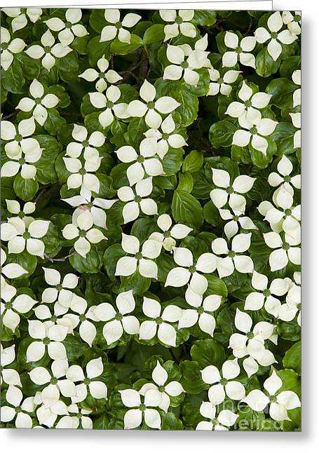 Cornus Greeting Cards - Japanese Flowering Dogwood tree Greeting Card by Tim Gainey