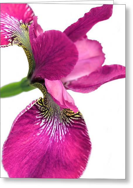 Dark Pink Greeting Cards - Japanese Iris Hot Pink White  Greeting Card by Jennie Marie Schell