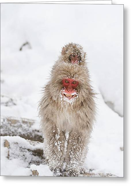 Japanese Macaque Carrying Young Greeting Card by Dr P. Marazzi