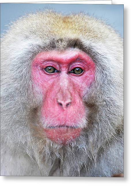 Japanese Macaque Greeting Card by Dr P. Marazzi