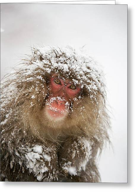 Japanese Macaque In The Snow Greeting Card by Dr P. Marazzi