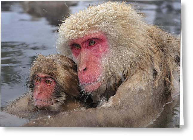 Japanese Macaque Mother And Young Greeting Card by Thomas Marent