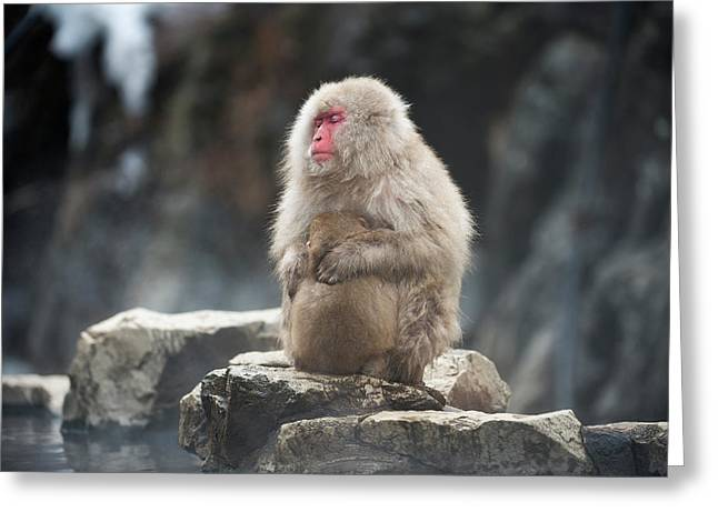 Japanese Macaque With Young Greeting Card by Dr P. Marazzi