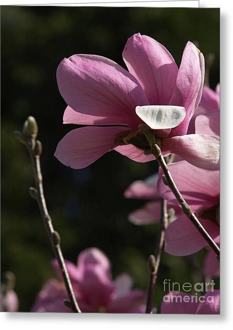 Pink Flower Branch Greeting Cards - Japanese Magnolia and Bud Greeting Card by Anna Lisa Yoder