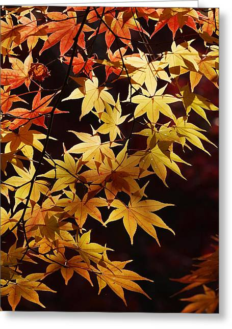 Kyoto Greeting Cards - Japanese Maple In Autumn Colors Kyoto Greeting Card by Hiroya Minakuchi