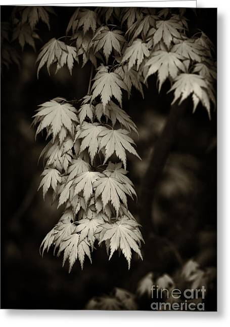 Tim Greeting Cards - Japanese maple in Sepia  Greeting Card by Tim Gainey
