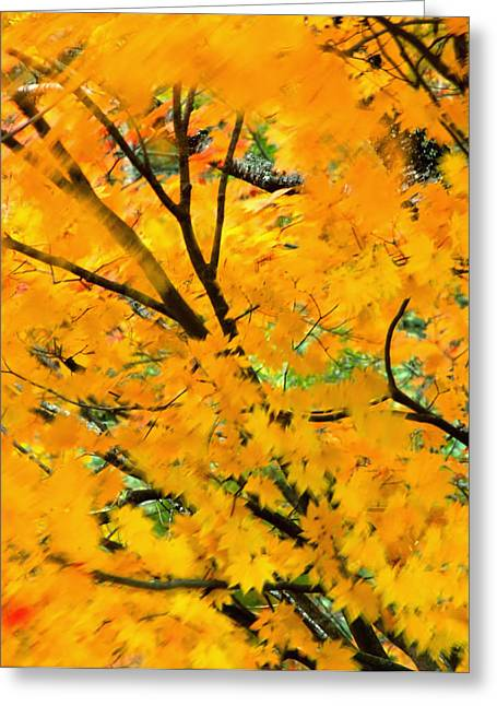 Japanese Maple Leaves Blowing In Wind Greeting Card by Robert Jensen