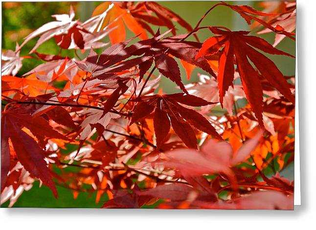 Kirsten Giving Greeting Cards - Japanese Red Leaf Maple Greeting Card by Kirsten Giving