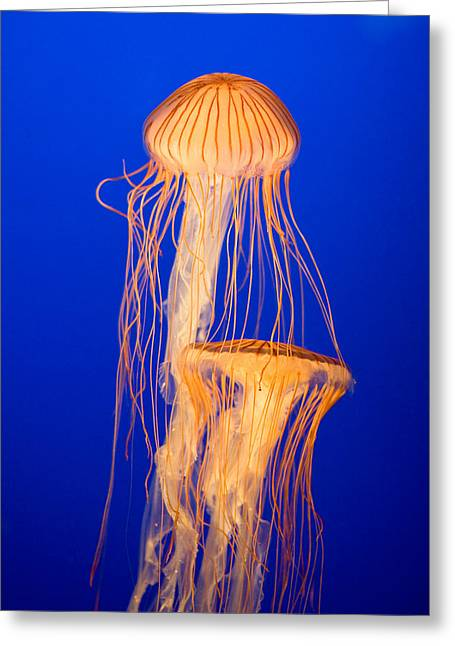 Jelly Fish Greeting Cards - Japanese Sea Nettles Greeting Card by Michael Russell