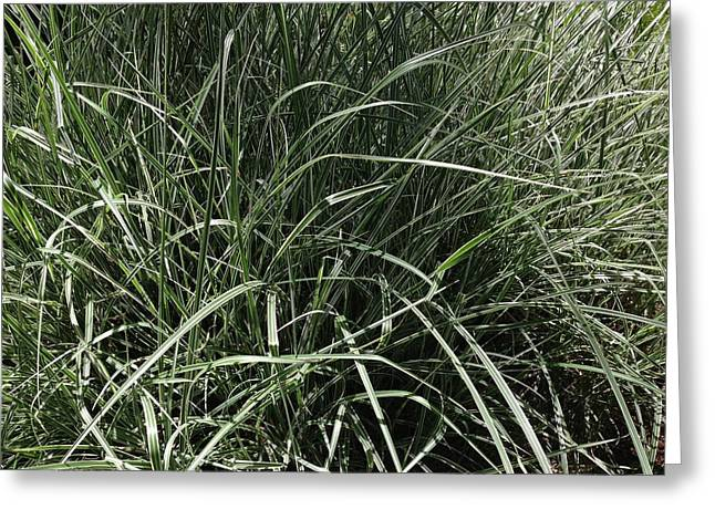 Japanese Silver Grass Greeting Card by Ron Torborg