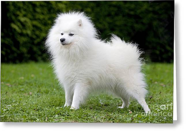 Hairy Dog Greeting Cards - Japanese Spitz Dog Greeting Card by Jean-Michel Labat