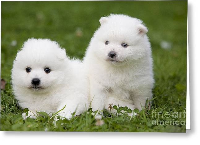 Japanese Puppy Greeting Cards - Japanese Spitz Puppies Greeting Card by Jean-Michel Labat