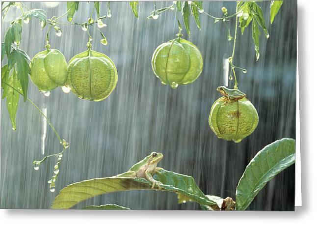 Tree Frog Greeting Cards - Japanese Tree Frog on Balloon Vine Greeting Card by Shinji Kusano