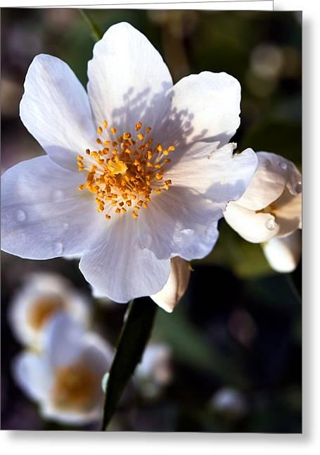 Fineartamerica Greeting Cards - Jasmine Beauty Greeting Card by Tomasz Dziubinski