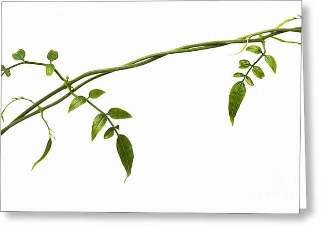 Germinate Greeting Cards - Jasmine Leaves Pattern  Greeting Card by Tim Gainey