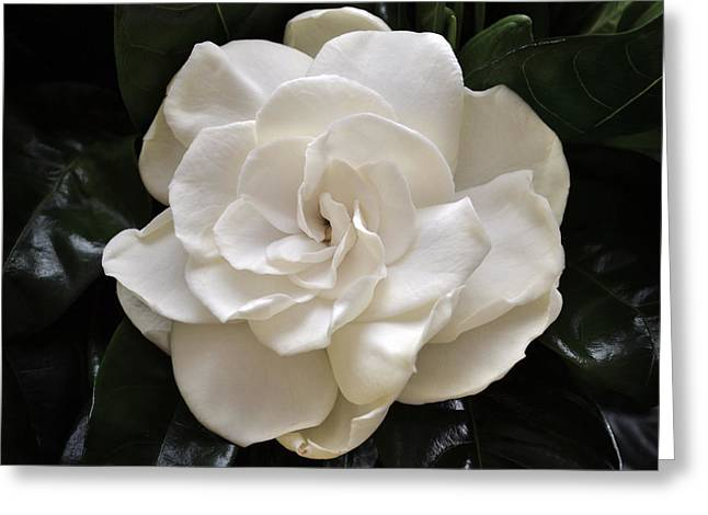 Gardenia Greeting Cards - Jasminoides Plena. Greeting Card by Terence Davis
