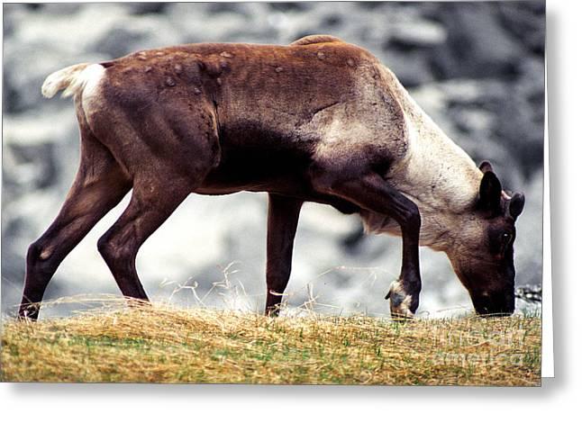 Caribou Greeting Cards - Jasper - Caribou Greeting Card by Terry Elniski