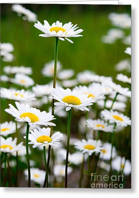 Cream Flowers Greeting Cards - Jasper - Oxeye Daisy Wildflower 2 Greeting Card by Terry Elniski