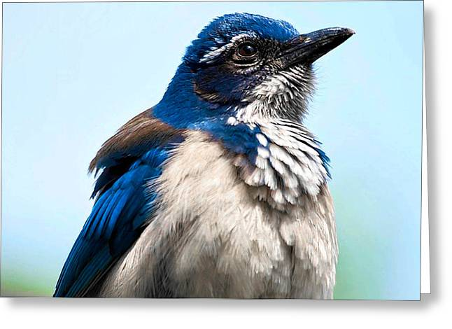 Scrub Jay Greeting Cards - Jay Greeting Card by Camille Lopez