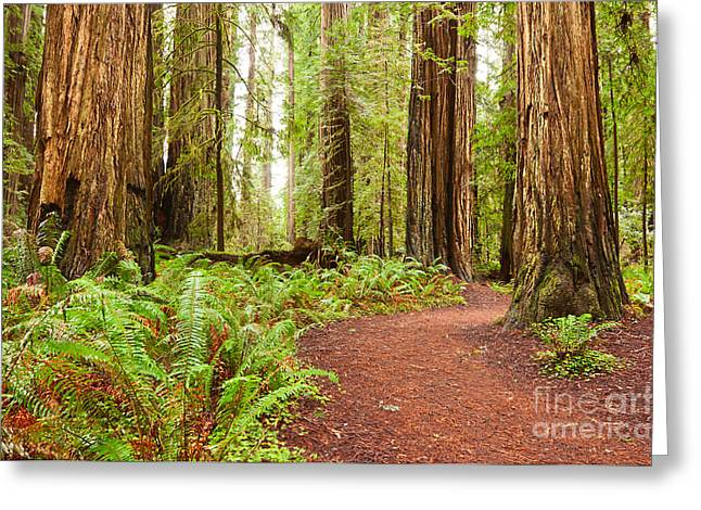 Pristine Coastal Forests Greeting Cards - Jedediah Trail - Massive giant redwoods Sequoia sempervirens in Redwoods National Park. Greeting Card by Jamie Pham