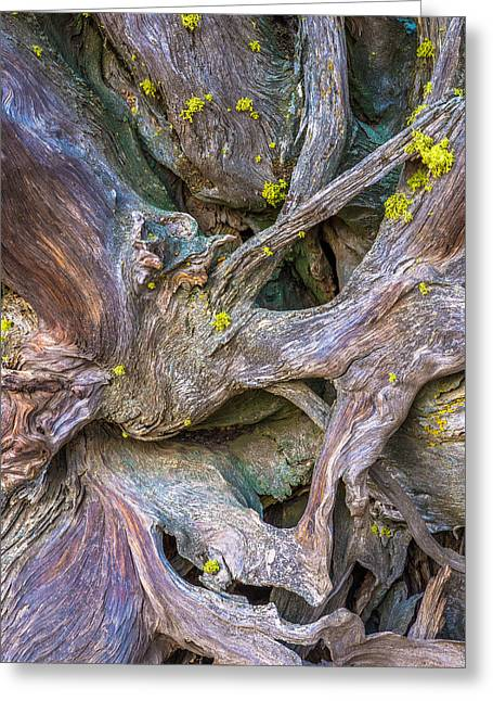 Photos Of Lichen Greeting Cards - Jeffrey Pine Roots Greeting Card by Alexander Kunz