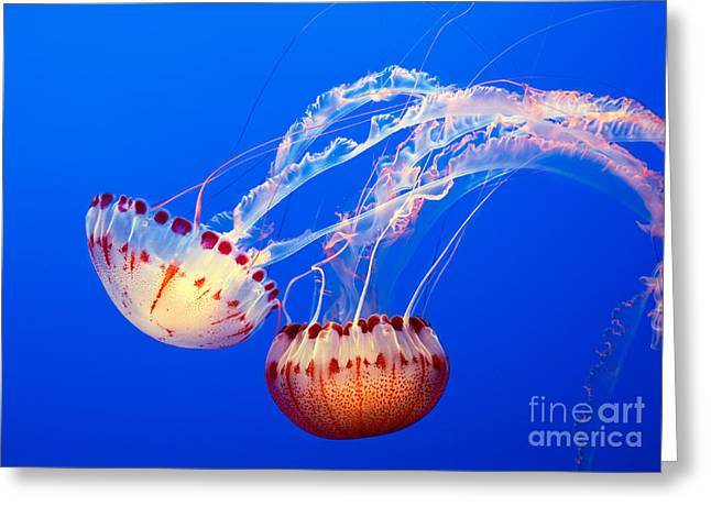 Jelly Fish Greeting Cards - Jelly Dance - Large jellyfish Atlantic Sea Nettle Chrysaora quinquecirrha. Greeting Card by Jamie Pham