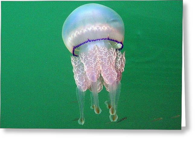 Sea Animals Greeting Cards - Jellyfish Greeting Card by Laurel Talabere