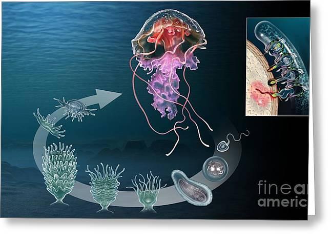 Medusa Greeting Cards - Jellyfish Life Cycle, Artwork Greeting Card by José Antonio Peñas
