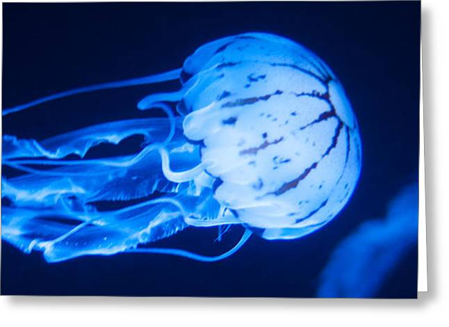Aquarium Fish Greeting Cards - Jellyfish Panorama Greeting Card by Ulrich Schade