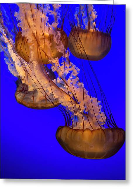 Jellyfish Undulating In Deep Blue Water Greeting Card by Sheila Haddad